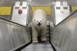 Polar_Bear-50